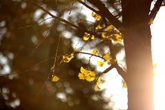 The yellow leaves of the gingko tree Stock Images