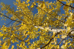 Yellow leaves of ginkgo Stock Photos