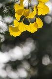 Yellow leaves of Ginkgo Biloba Royalty Free Stock Photo