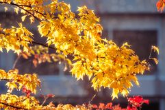 Yellow leaves at golden hour. On a blurred nondescript building background in Fujikawaguchiko, a Japanese resort town at the northern foothills of Mount Fuji royalty free stock photography