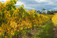 Yellow leaves on a grape vine in the Yarra Valley, Australia Stock Photo