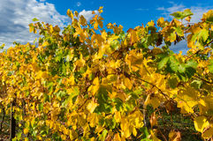 Yellow leaves on a grape vine in the Yarra Valley, Australia Royalty Free Stock Images