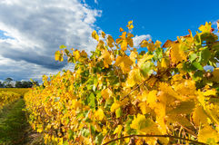 Yellow leaves on a grape vine in the Yarra Valley, Australia Stock Photos