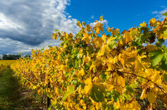 Yellow leaves on a grape vine in the Yarra Valley, Australia Royalty Free Stock Image