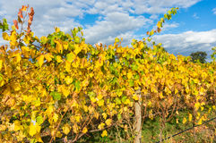 Yellow leaves on a grape vine in the Yarra Valley, Australia Royalty Free Stock Photography