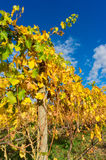 Yellow leaves on a grape vine in the Yarra Valley, Australia Royalty Free Stock Photo