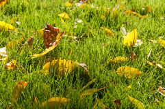 Yellow leaves on the grass in autumn Royalty Free Stock Photo