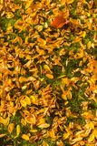 Yellow leaves on the grass Royalty Free Stock Photo