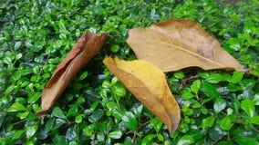 Yellow leaves on green bush stock image