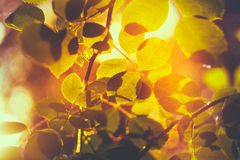 Yellow Leaves Among Green Foliage. Autumn, Fall Time Royalty Free Stock Photo