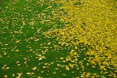 Yellow leaves on green grass.