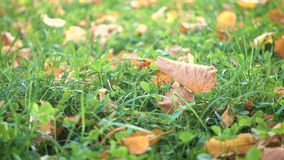 Yellow leaves on a green grass at the autumn park stock video footage
