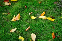 Yellow leaves on green grass. royalty free stock photos