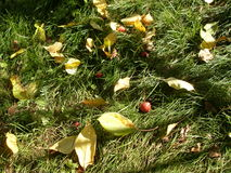 Yellow leaves on the green grass. Wildings Apples and yellow leaves on the green grass under the bright sun Stock Image