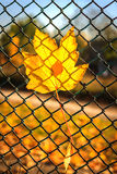 Yellow leaves on the grid Stock Photography