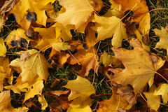 Yellow leaves on the ground Royalty Free Stock Photo