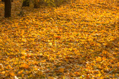 Yellow leaves on ground Royalty Free Stock Images