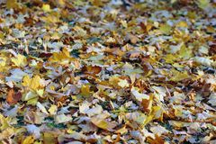 Yellow leaves on the ground. Yellow fallen leaves on the ground in the park stock image