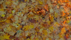 Yellow Leaves On The Ground In Forest stock video footage