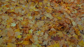 Yellow Leaves On The Ground In Forest. Panning stock video footage