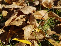 The yellow leaves on the ground. Dry in the sun Stock Photography