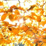 Yellow leaves illuminated by straight sunshine, autumn background Stock Photography