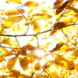 Yellow leaves illuminated by straight sunshine, autumn background Stock Image