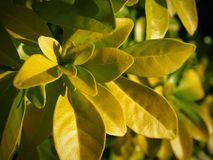 Yellow leaves illuminated by winter sun. Close-up of yellow leaves on a bush illuminated by sunlight in winter stock photography