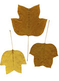 Yellow leaves isolated on white Royalty Free Stock Photo