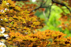 Yellow leaves of Japanese maple tree (Acer palmatum). Focus is i. N the middle royalty free stock image