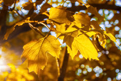 Yellow leaves of a Kalina tree in autumn in the rays of warm sunny evening light against a blue sky Royalty Free Stock Photography