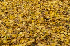 Yellow leaves in Kew Gardens in winter/autumn stock images