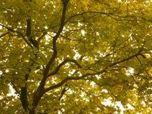 Yellow leaves. In Kolkata zoo garden Stock Photo