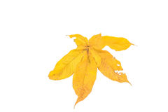 Yellow leaves. Yellow leaf isolated on a white background Royalty Free Stock Photography
