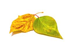 Yellow leaves. Leaf on a white background royalty free stock photo