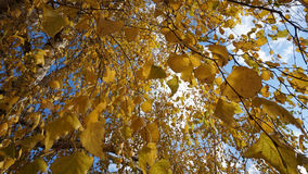 Yellow leaves Stock Image