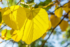 Yellow leaves of lime tree close up. On a sunny autumn day stock photography