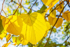 Yellow leaves of lime tree. On a sunny autumn day. Close up stock image