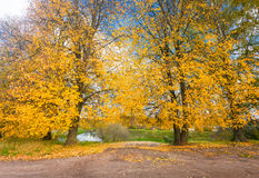Yellow leaves of linden tree Stock Images