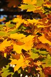 Yellow leaves of maple Royalty Free Stock Photography