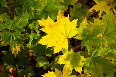 Yellow leaves of maple Stock Photography