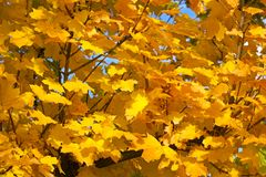 Yellow leaves of maple Royalty Free Stock Image