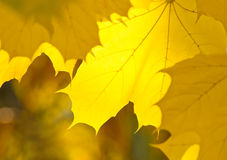 Yellow leaves of maple Royalty Free Stock Photo
