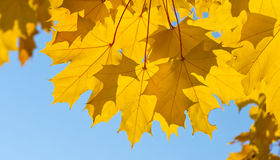 Yellow leaves of maple Royalty Free Stock Images
