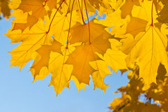 Yellow leaves of maple Stock Image