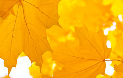 Yellow leaves of maple Royalty Free Stock Photos