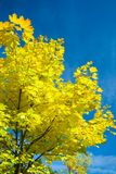 Yellow leaves on Maple tree Stock Images