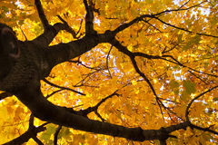 Yellow leaves on maple tree Royalty Free Stock Image