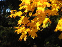 Yellow leaves of maple tree Royalty Free Stock Photography