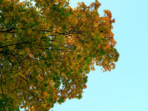 Yellow leaves of a maple tree in the fall Stock Image